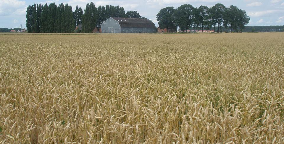 Agrarisch erfgoed in Zaamslag met graanveld
